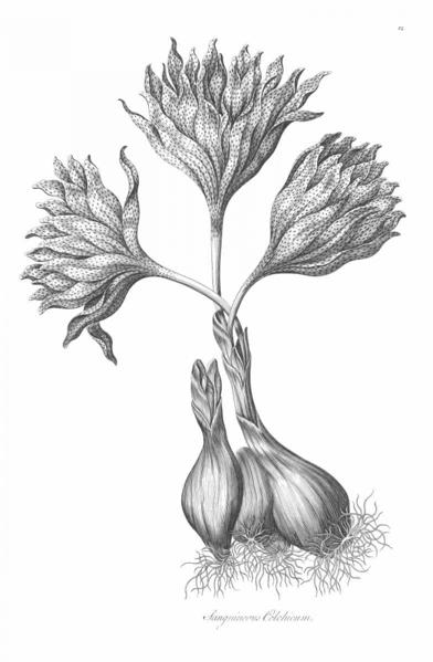 Picture of SANGUINEOUS COLCHICUM